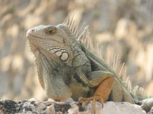 icky iguana